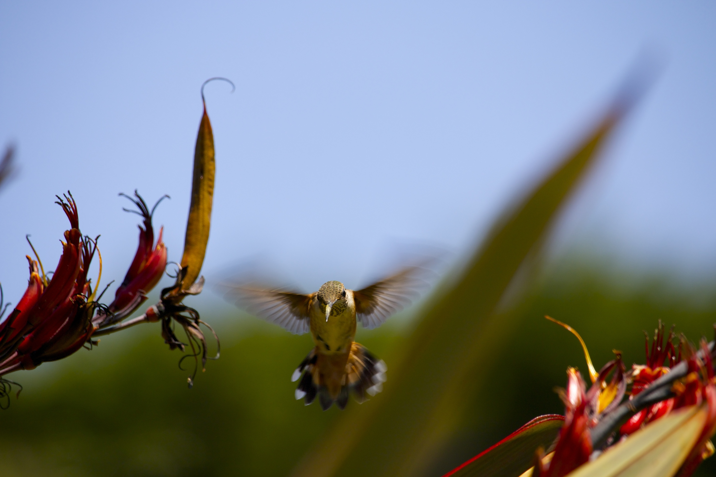 late spring hummer
