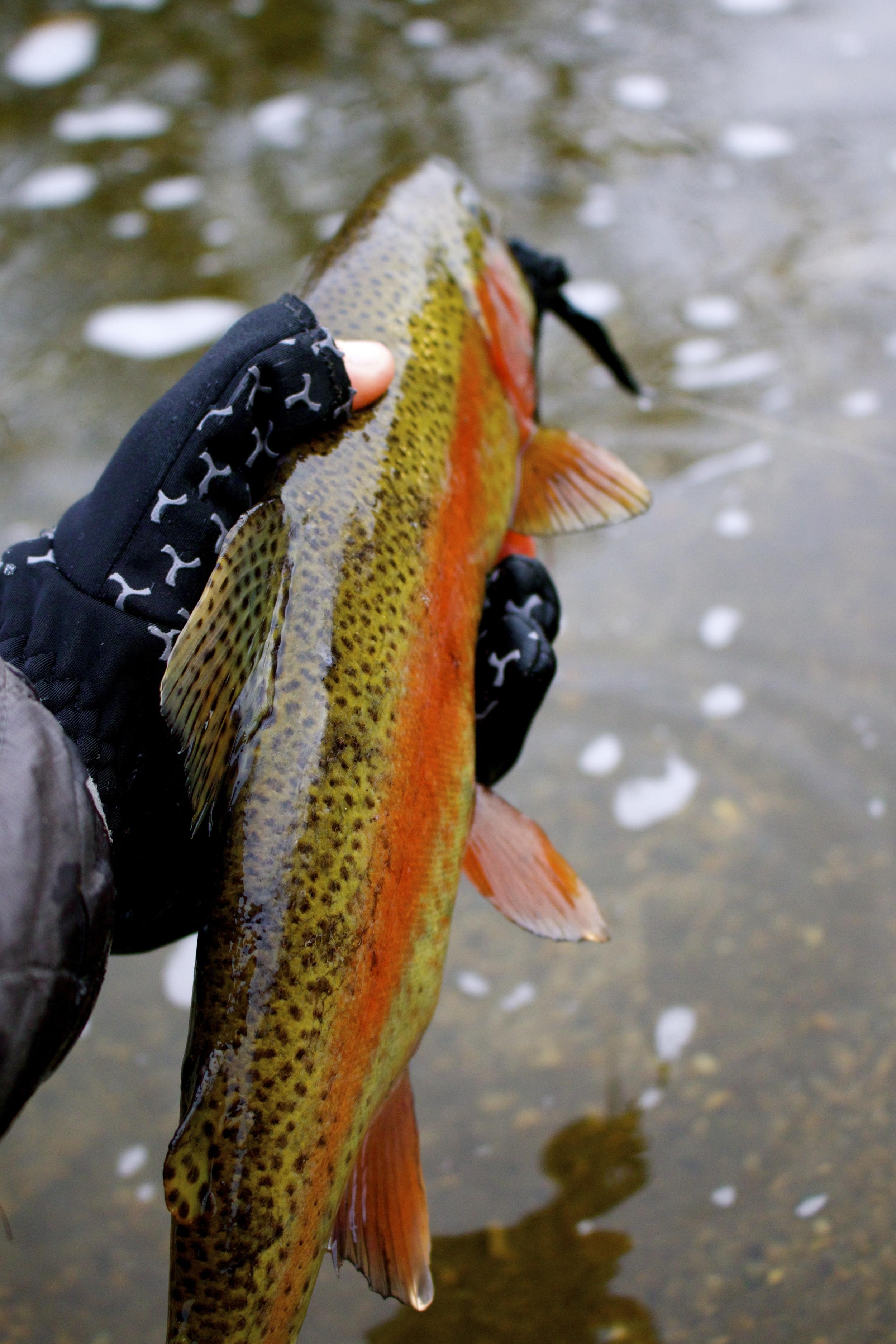 spawning rainbow
