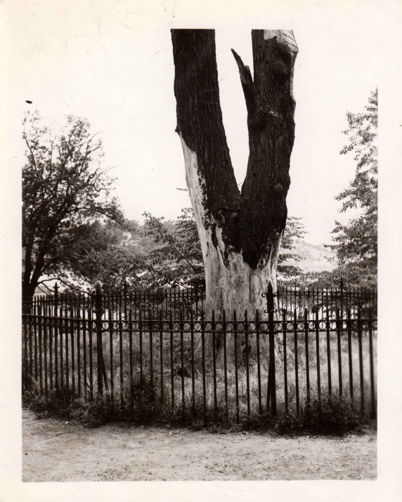 Close up of the base of the tulip tree photographed on August 4, 1938. From the WPA photographs collection.