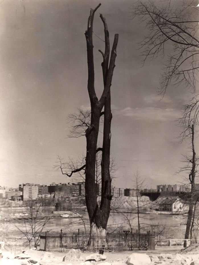 Tulip tree, circa 1937, looking east toward Inwood. From the WPA photographs collection.
