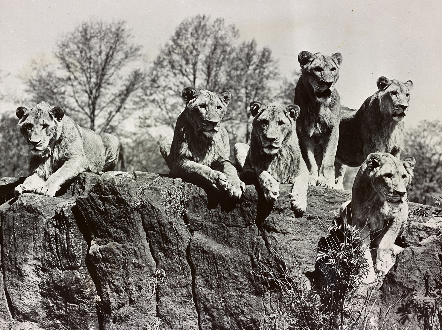 mac_1689: The Bronx Zoo: The African Plains exhibit. Six uncaged lions face viewers across an invisible moat.