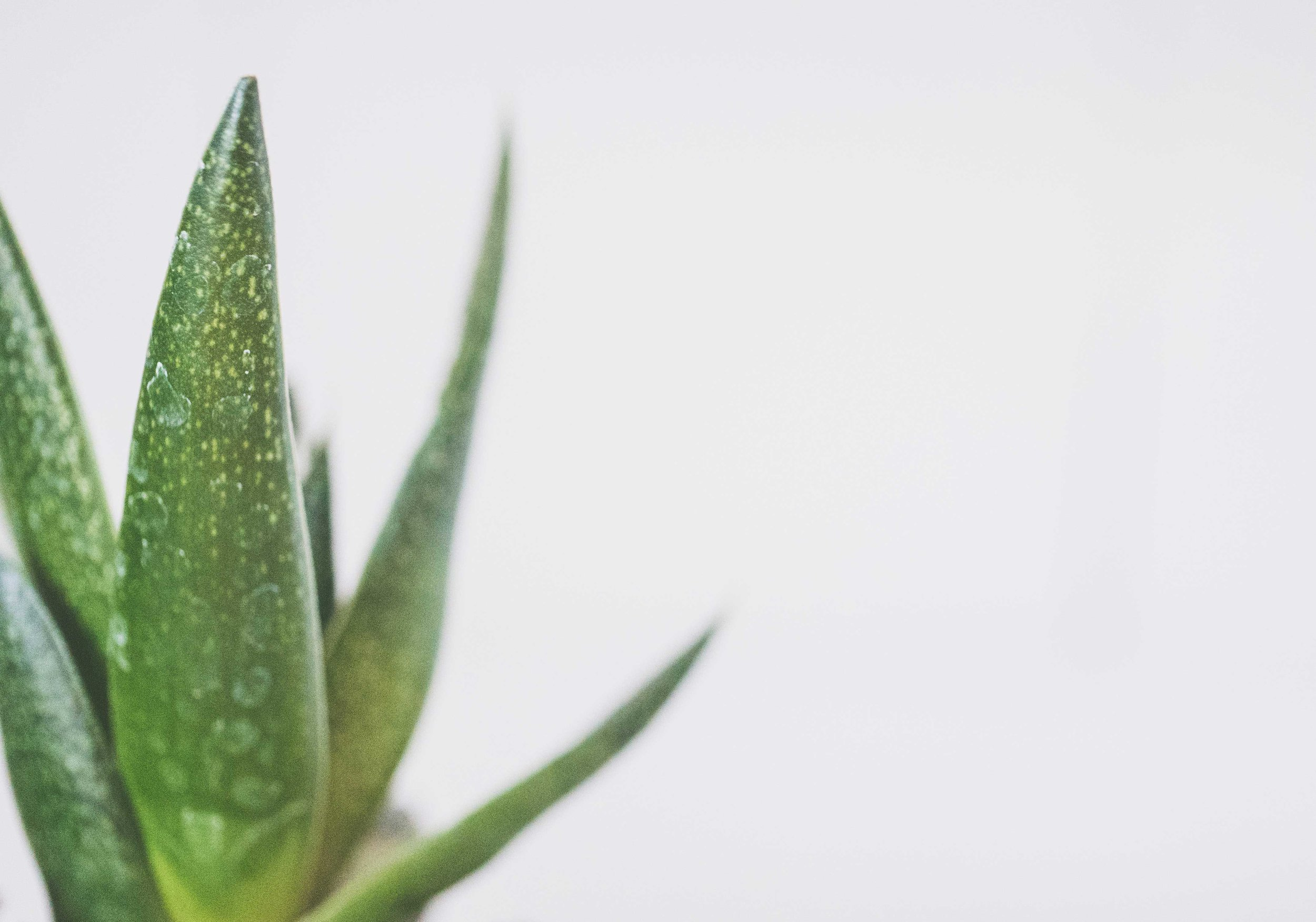 Aloe vera. Photo by Jessica Lewis.