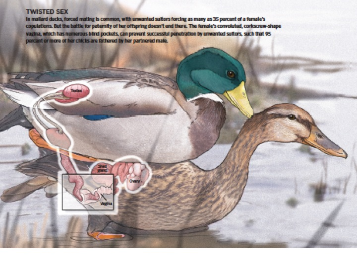 This beautiful illustration of mating ducks accompanied my paper in  The Scientist   @ Catherine Delphia
