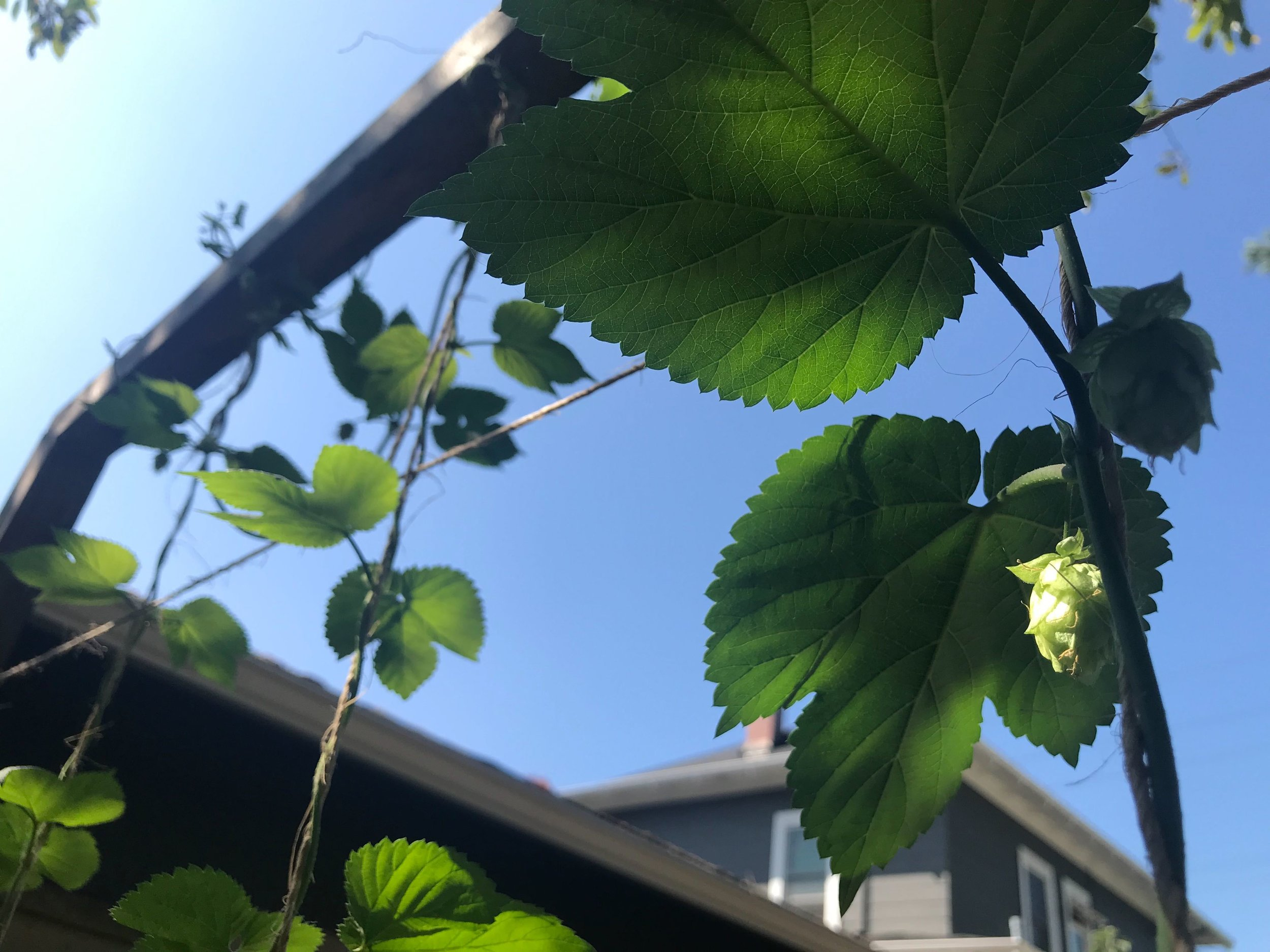 Hops in the Sun