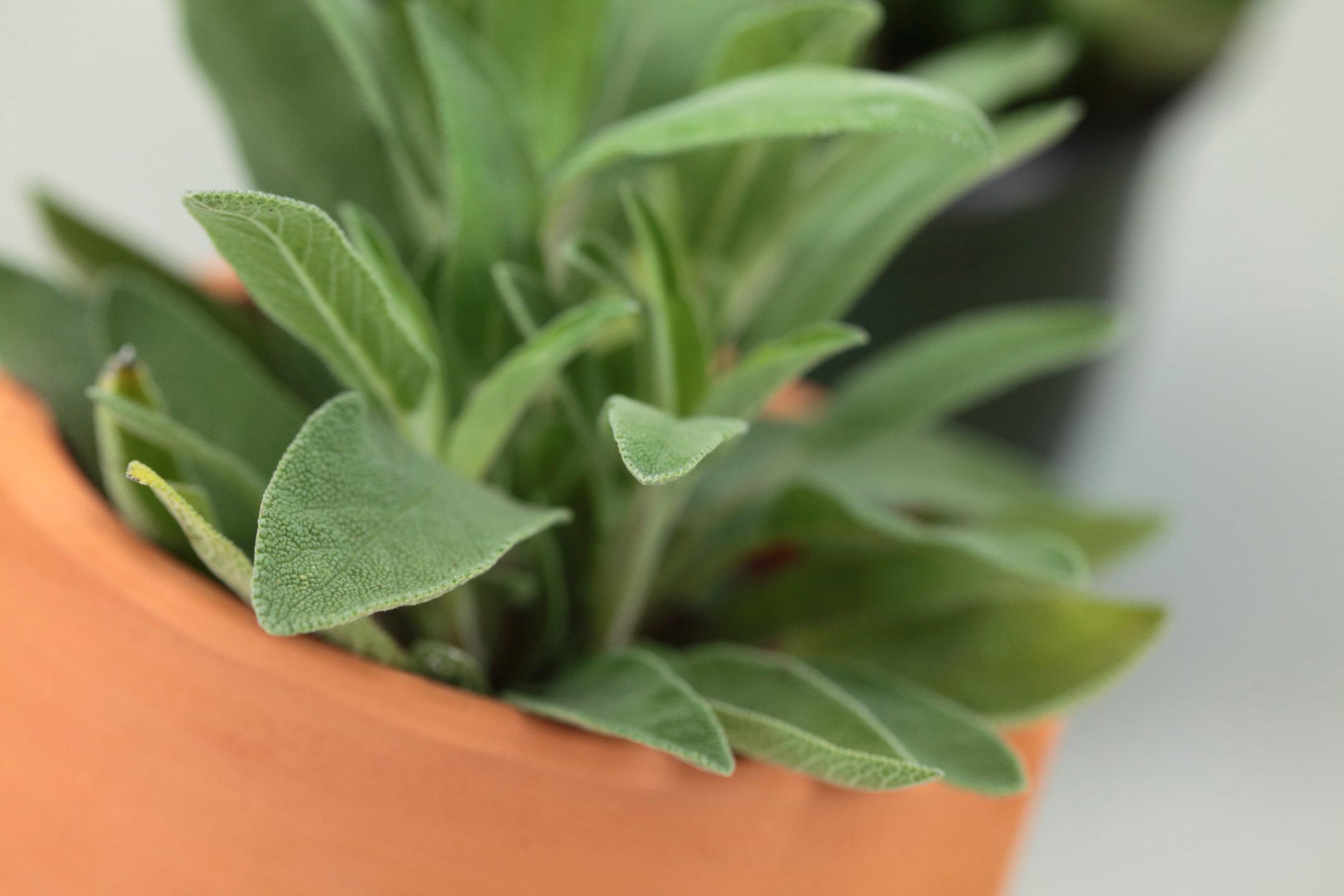 Friske urter trives best med litt bevegelse. -og rikelig med vann og lys! Sett den på kjøkkenbenken eller helst midt på bordet så får hver enkelt plukke selv!