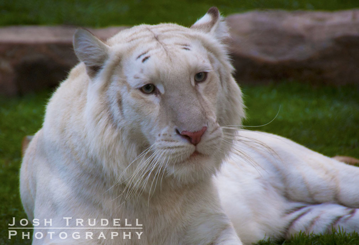 White-Tiger.jpg