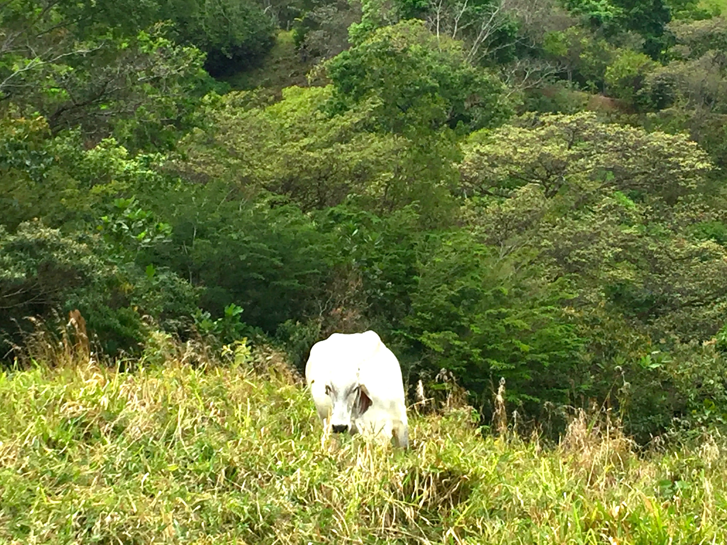 A view from the isolated roadside. I love these Brahman cattle.