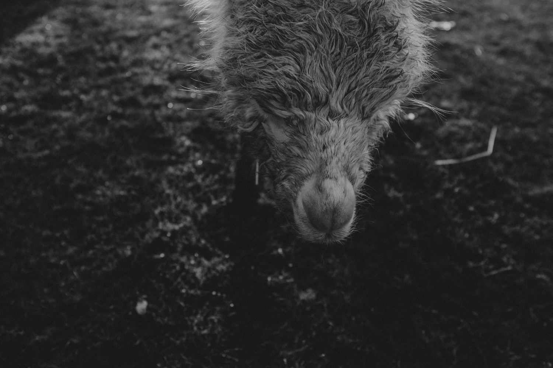alpaca travel photography