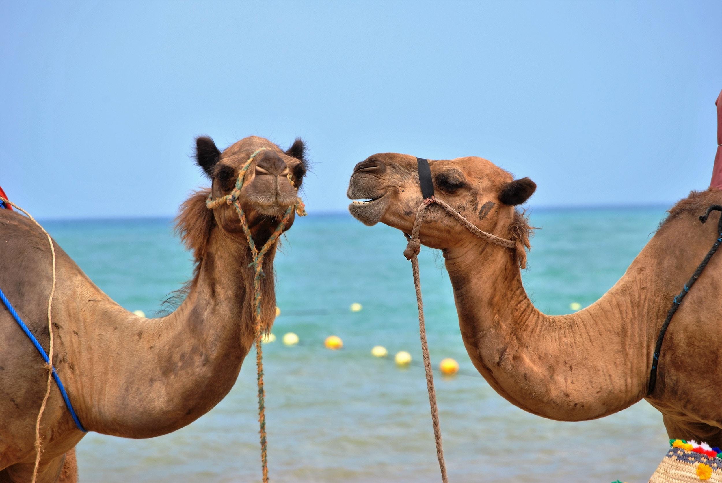 morocco camels.jpg