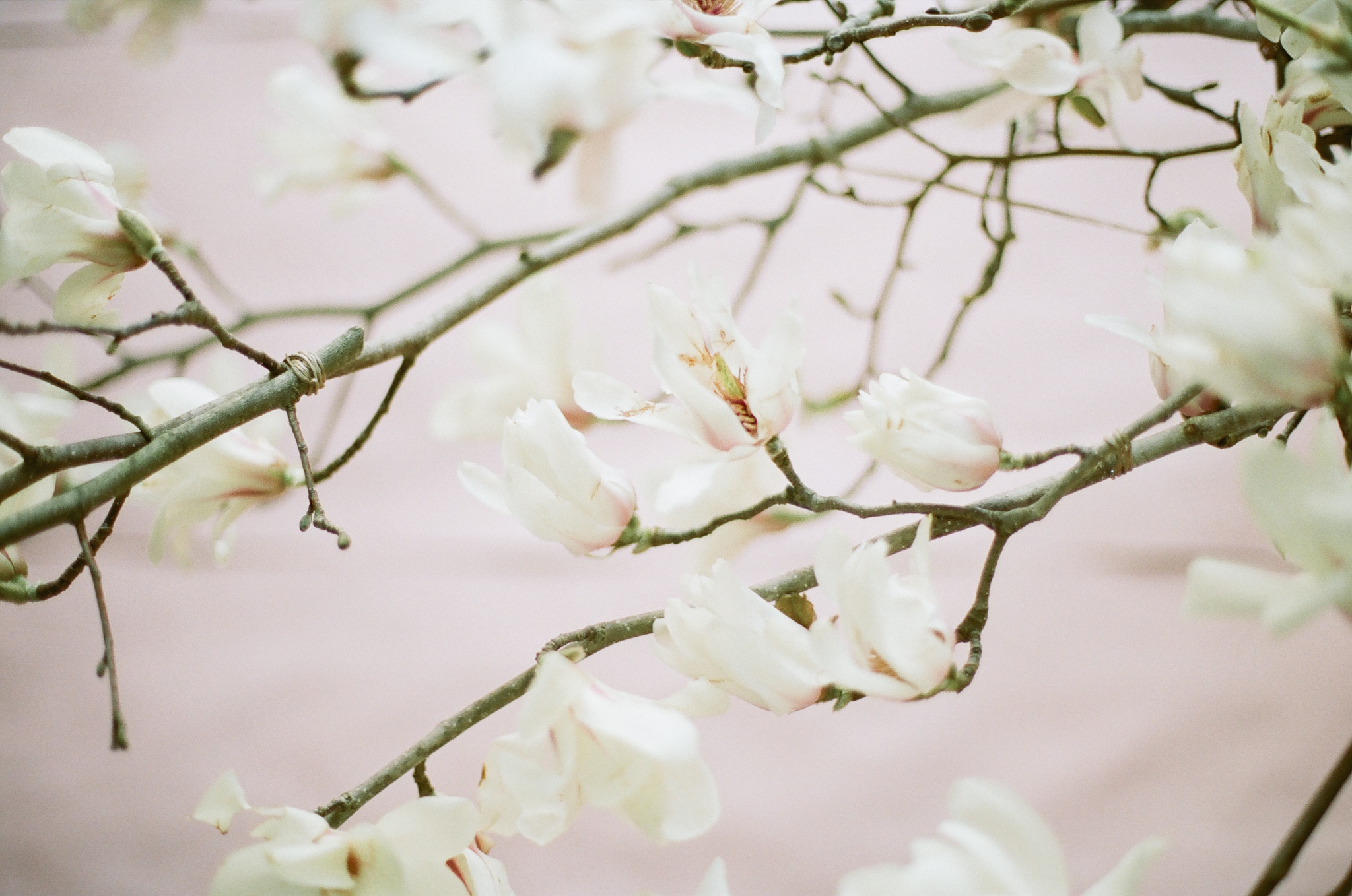 Spring flowering branches trees magnolia