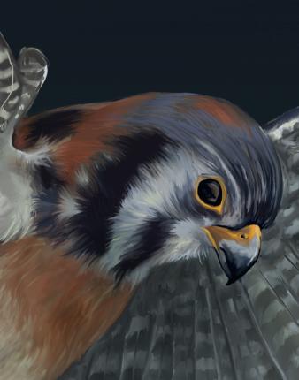 Falco sparverius, detail