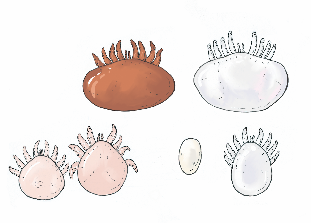 Varroa destructor:  Life stages, male and female