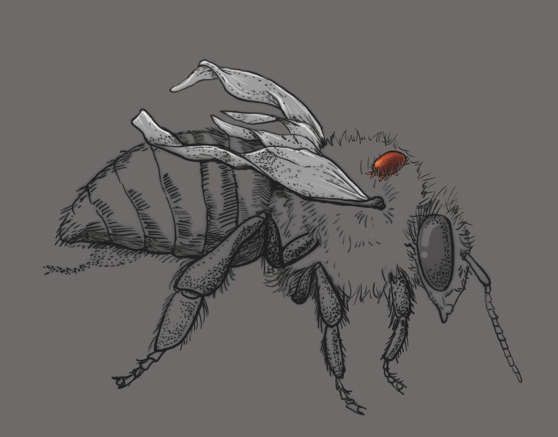 Honey bee with Deformed Wing Virus