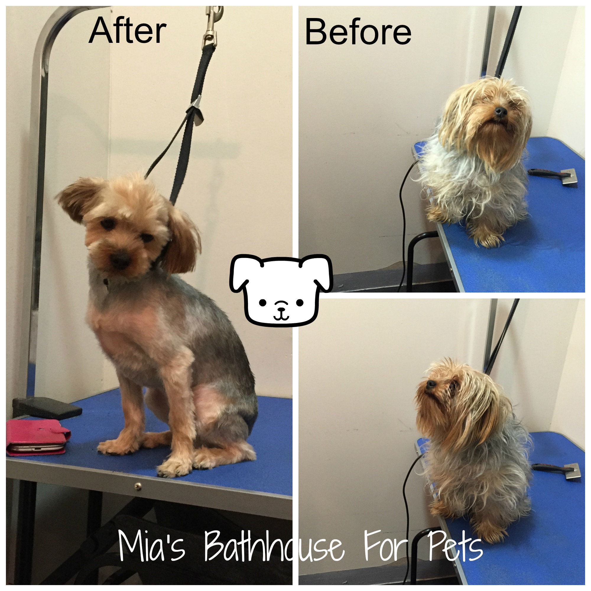 Our happy customer Pumpkin, looking fabulous after her grooming appointment, with our groomer Cheryl.