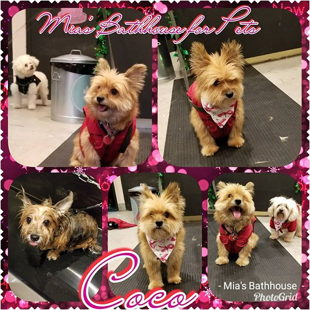 Hey you! Yea you! I'm Coco and this is my big sister Shorty! Our mom brought us to Mia's to be pampered by the best! Shorty and I received pamper packages by Melody and boy was it pawsome! We got massages, treats, and tons of love! Now we're some of the cutest pups in town! We can't wait to come back! Call today to set an appointment for your pooch to get pampered! (212)694-8607 #dogs #doggrooming #groomingsalon #pampering #pampereddog #yorkies #mixesofinstagram #mixes #rescues #siblings #sister #terrier #terriermix #yorkiemix #shihtzu #shihtzus #shihtzusofharlem #shihtzusofig #shihtzusgram #terriers #terriersofig #terriersofinstagram #yorkieswag #yorkiesofig #yorkiesofinstagram #pets #nyc #harlem #miasbathhouse