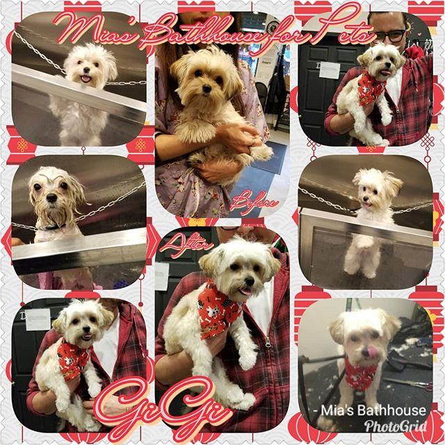Welcome back GiGi!! This cutie pie wanted to bring in the New Year with a fresh cut so GiGi indulged in our Winter Grooming Special by Chaki where dad was able to save a few dollars! Now this little lady is ready to spread joy to everyone she meets! Call today to set an appointment for your fur baby! (212)694-8607 #dogs #doggroomingsalon #groomingsalon #dogs #pets #petstagram #morkie #mixesofinstagram #yorkie #yorkiemix #maltese #maltesemix #morkies #morkiesofig #morkiepuppy #morkielove #morkielife #morkiesofinstagram #morkiesrule #morkies101 #yorkiesofig #yorkiesofinstagram #maltesesofinstagram #maltesepuppy #nyc #deals #miasbathhouse #wintergrooming #specials #harlem #newyear