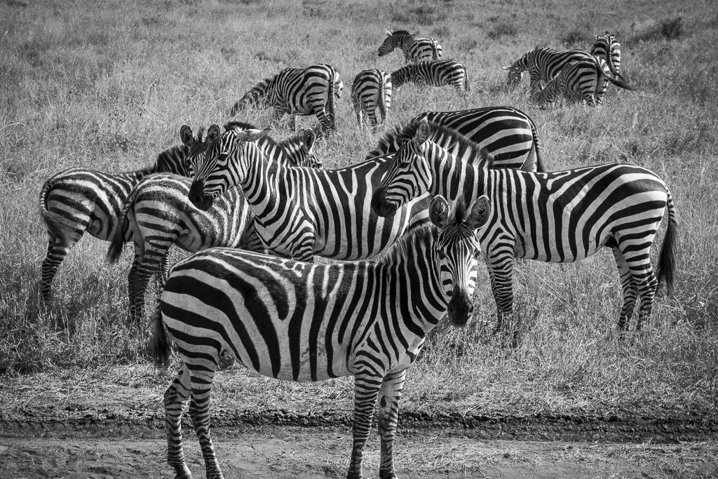 Serengeti Zebras.jpg