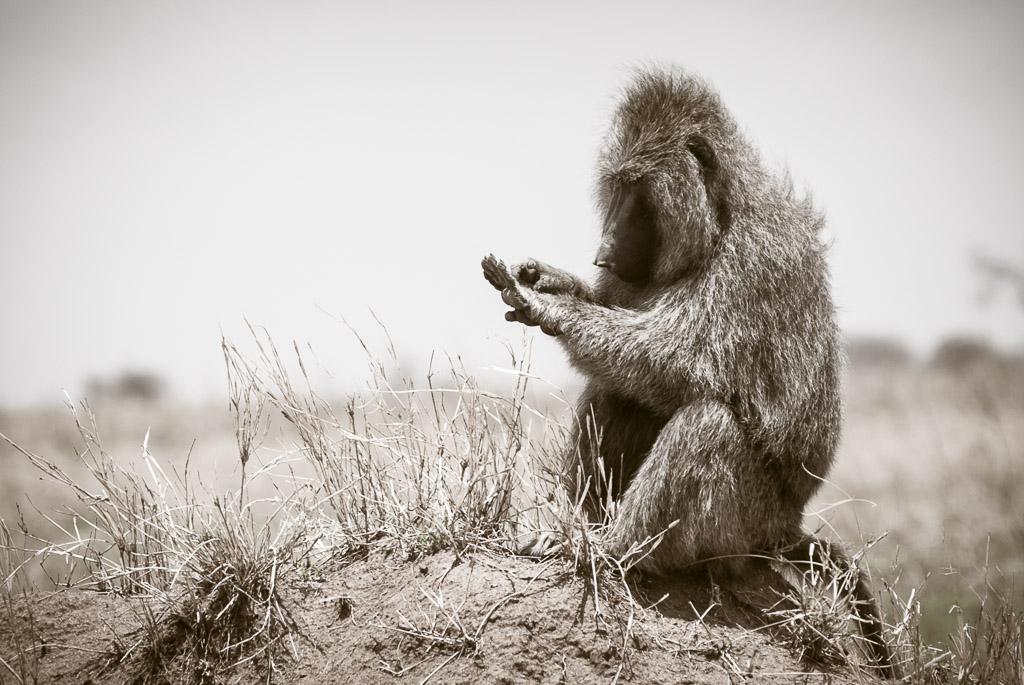 Serengeti Baboon Grooming BW.jpg