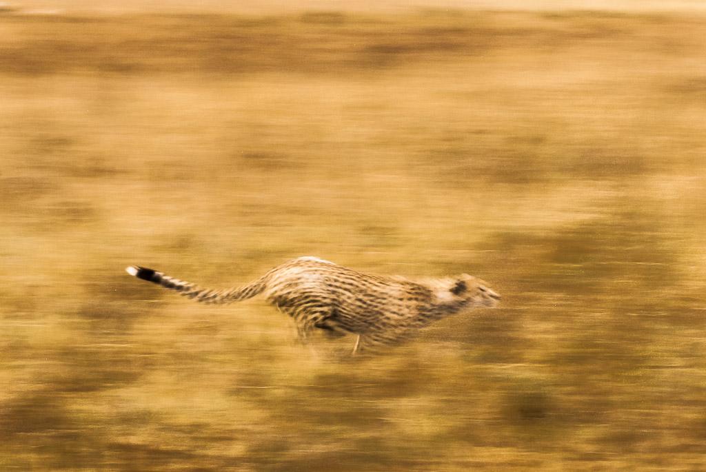 Serengeti Cheetah Hunt Blur.jpg