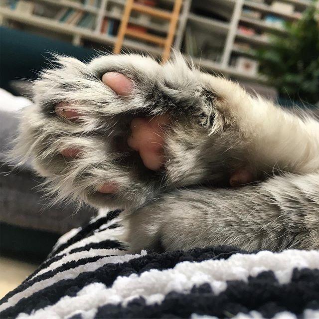 / paw 🐾 . . . #miabanana #paws #dirttrap #mainecooncross #closeup #petsofig #furbaby #catsofig