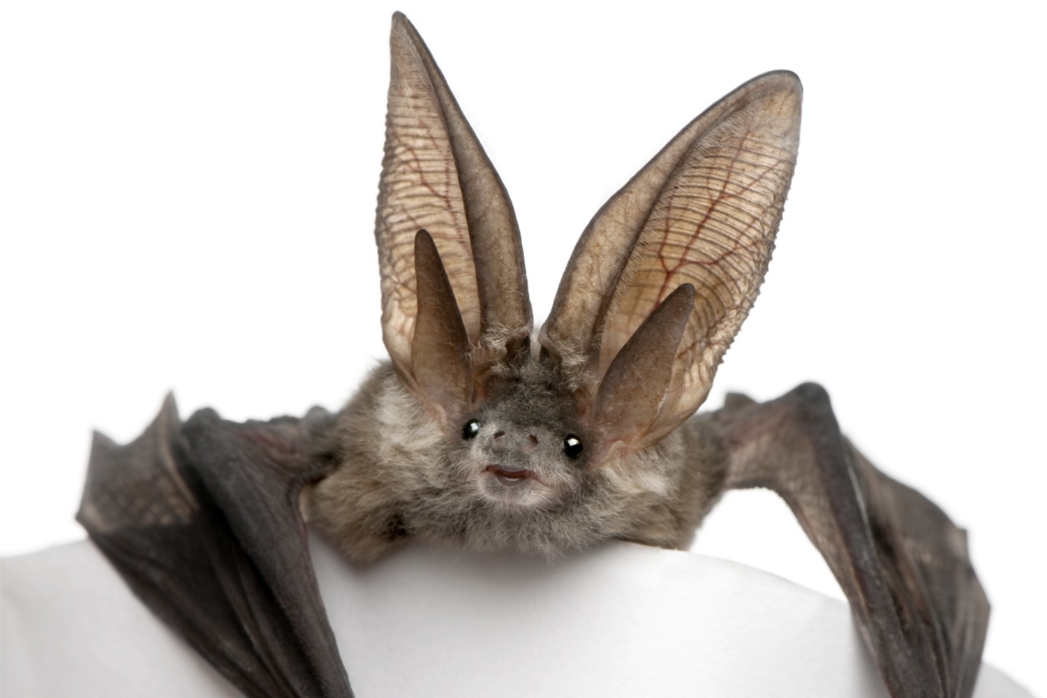 Brown long-eared bat