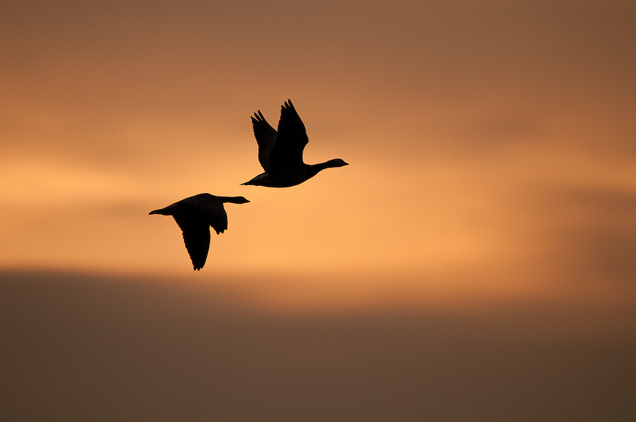 Barnacle geese silouette