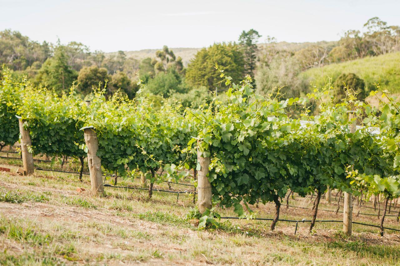 Our Norton Summit vineyard. Photo Jennifer Sando.