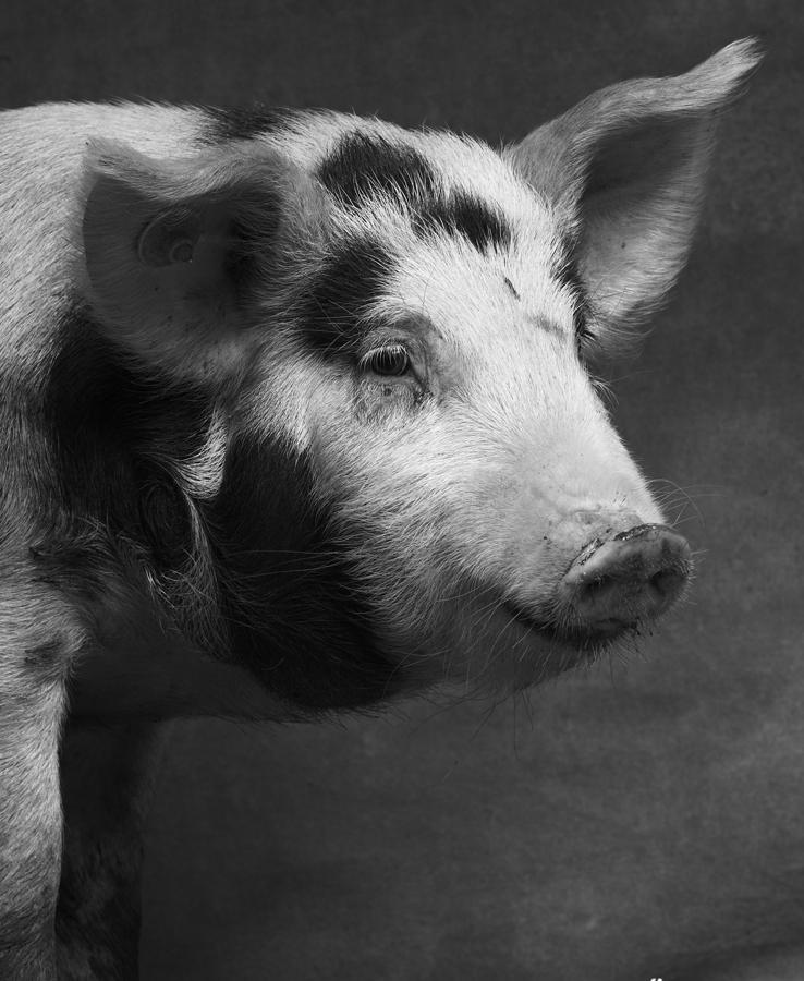 1_1_Pig5-097.jpg
