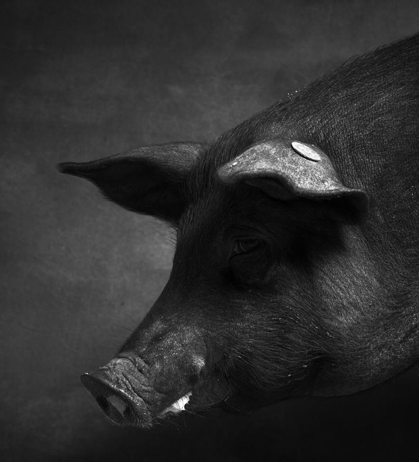 1_1_Pig5-128.jpg