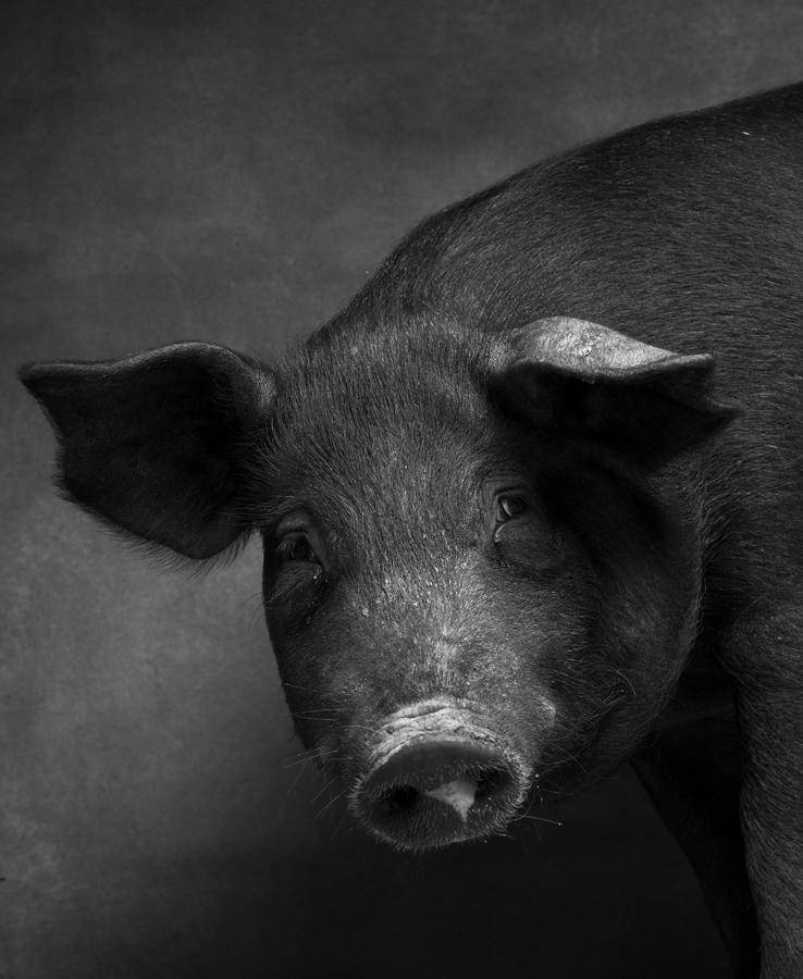 1_1_Pig5-131.jpg