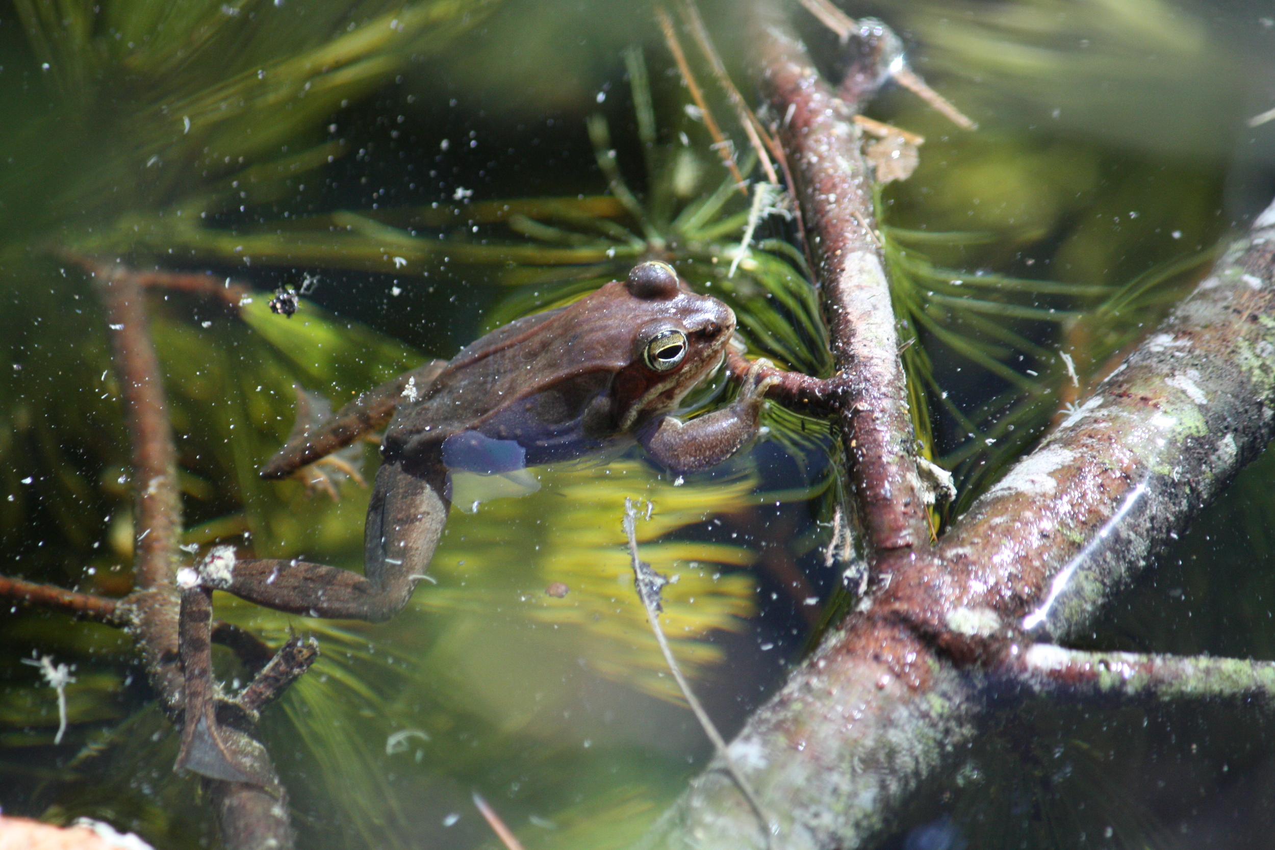 wood frog by michellecusolito