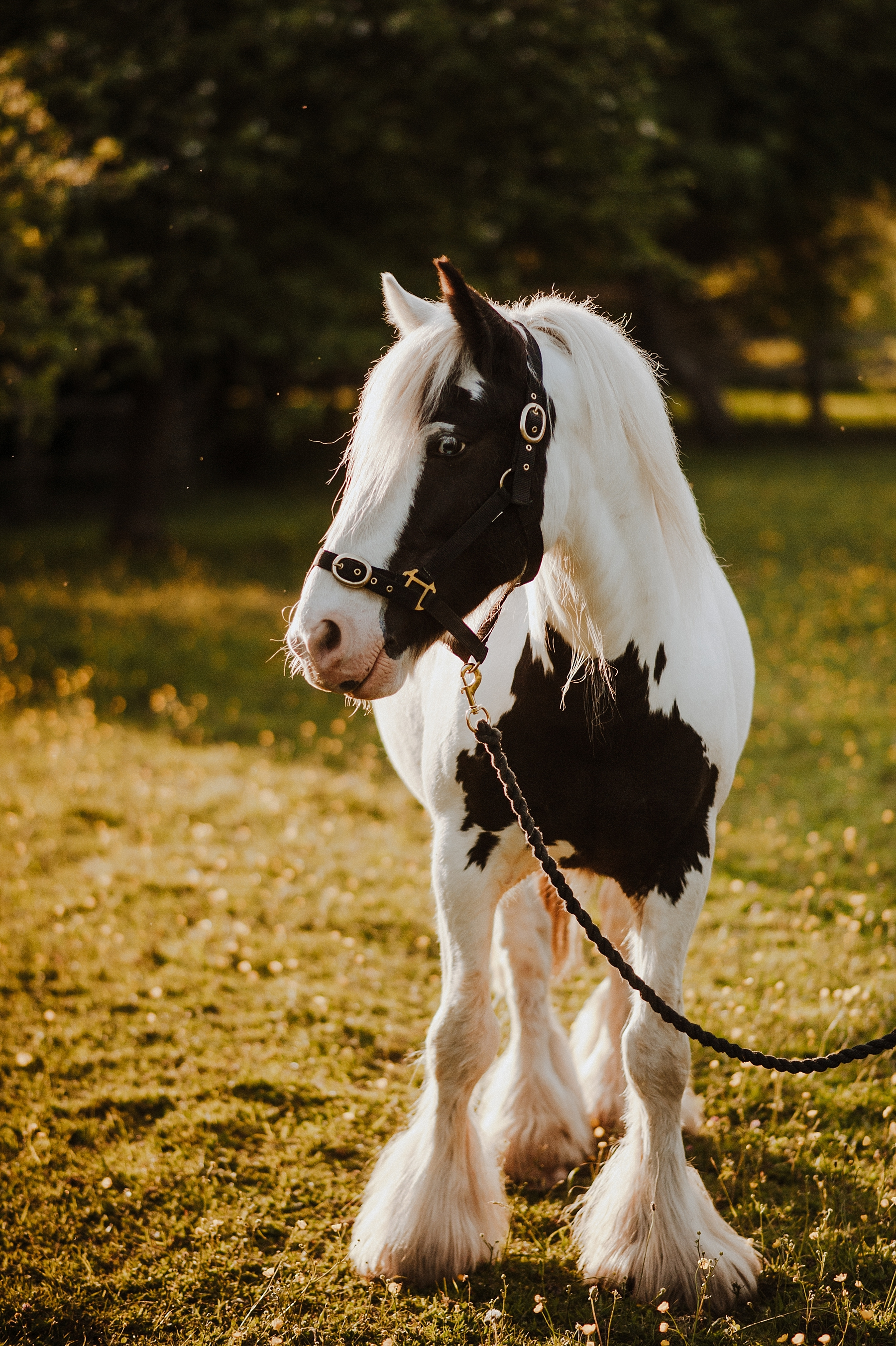 gypsy cob photos
