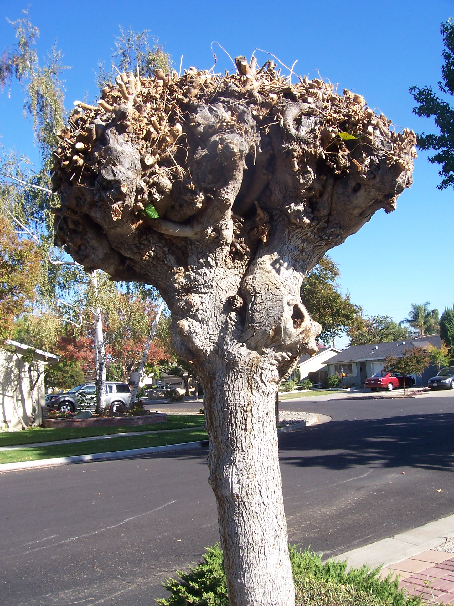 Pictured: A mulberry tree that has been subject to repeated pruning, (pollarding). Pollarding is a dangerous technique that removes the annual growth of a tree, leaving poor structure and disfiguring scar tissue.