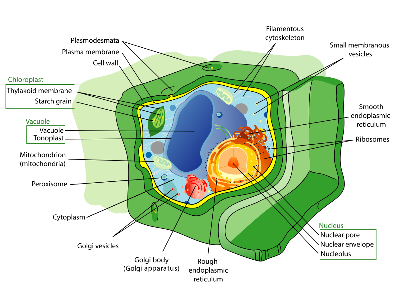A plant cell. Note the cell wall, vacuole and chloroplasts