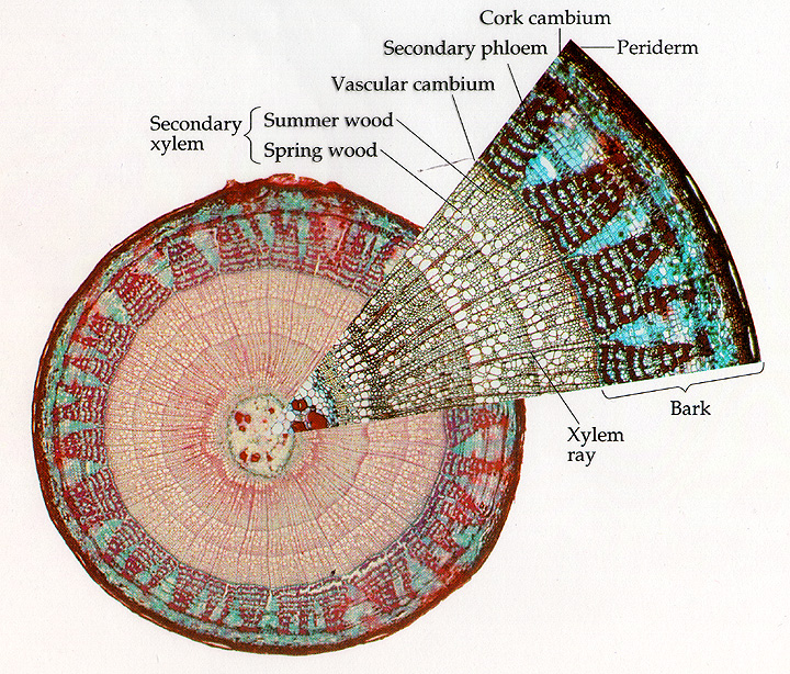 A cross-section of a tree trunk. Note the two cambria. ( Source )