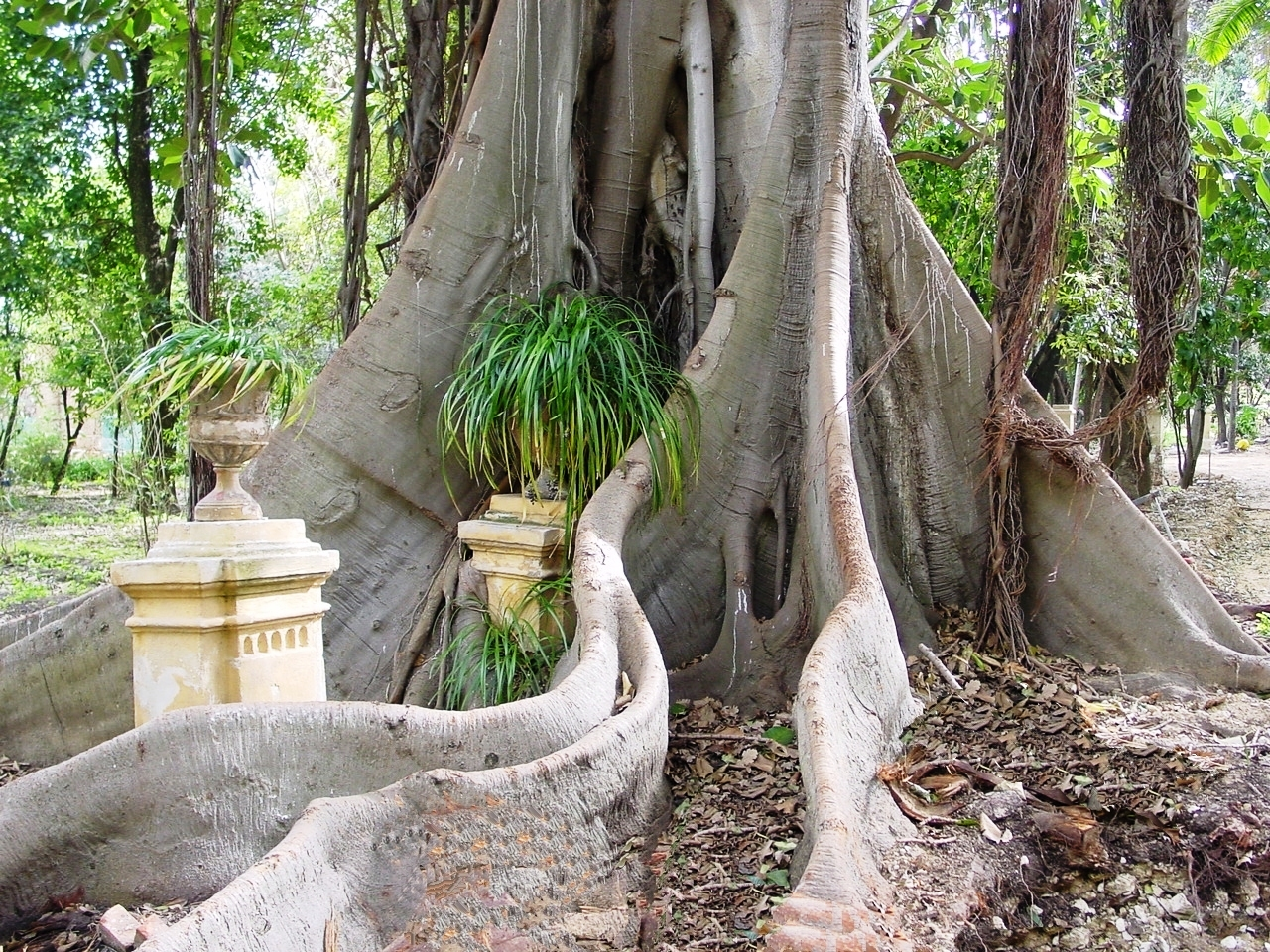 The buttress roots of a  Ficus macrophylla  tree in Paloma. Roots can get seriously large. ( Source )