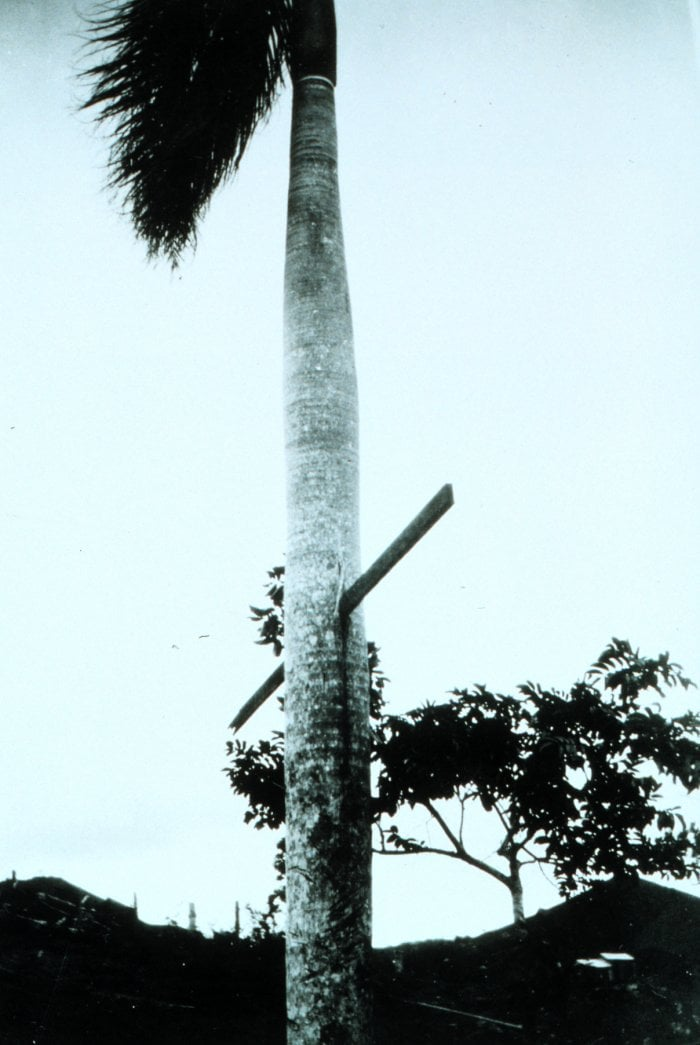 Pictured: A piece of rebar driven through a palm tree in a hurricane. Palm trees are strong enough to withstand winds that would snap most trees during hurricanes but their distributed vascular tissue means this tree will never close the wound.