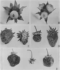 If you take the auxin-producing seeds off of strawberries they grow weird, or not at all. ( source )