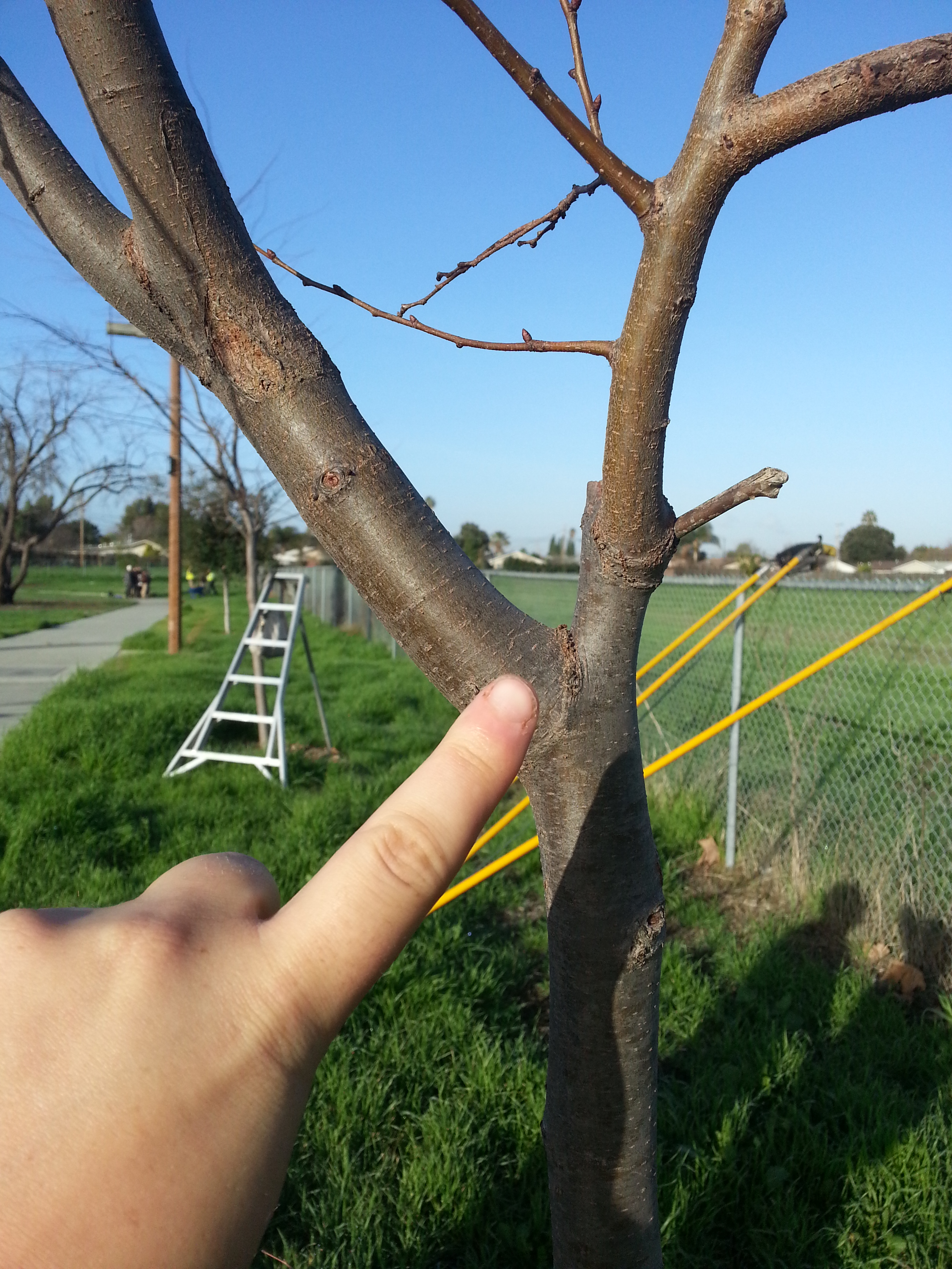 Branches lower than the lowest permanent branch that exceed 1/3 of the trunk's width should be removed.