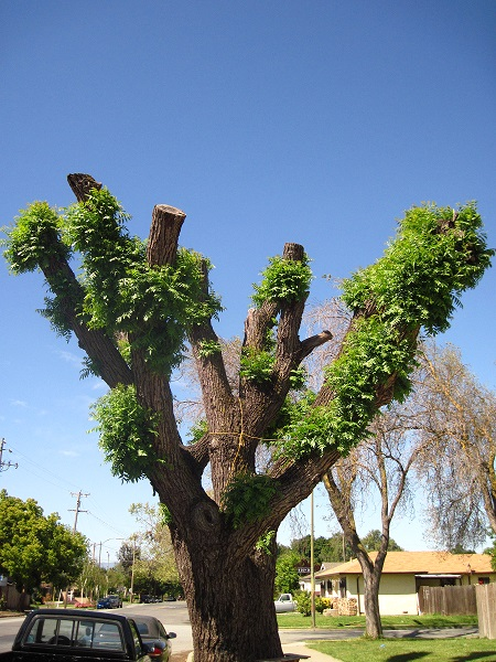 Tree topping has the added benefit of looking hideous in addition to nearly killing your tree.