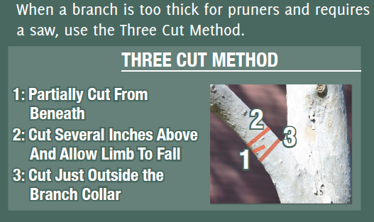 Big branches should be cut with a saw using the above method to avoid damaging the tree.