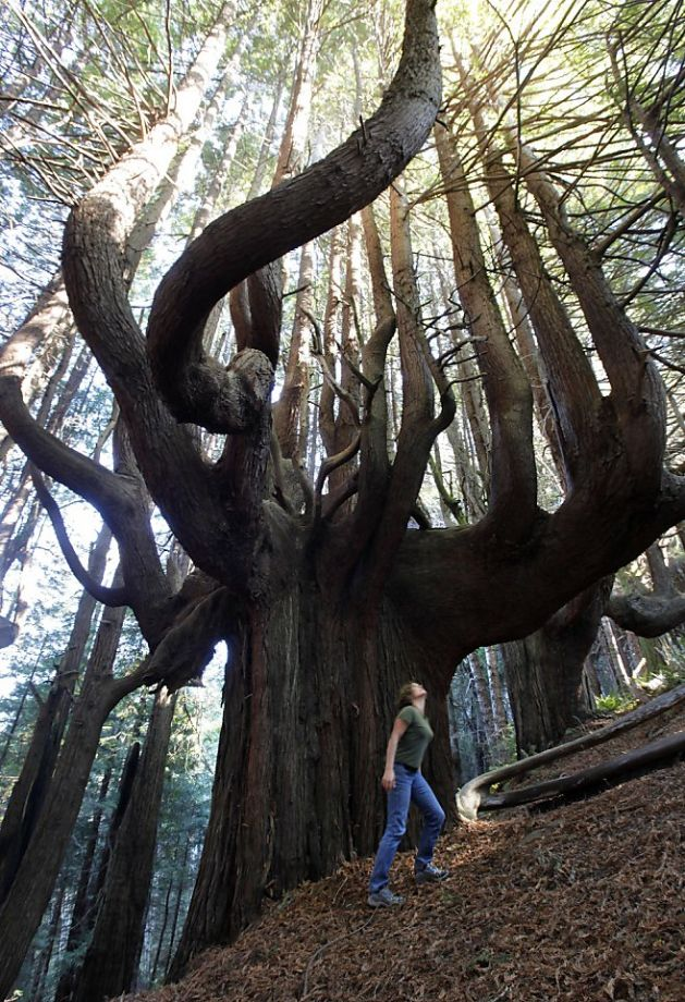 Redwoods can develop complex structure, providing additional canopy habitat. ( Source )