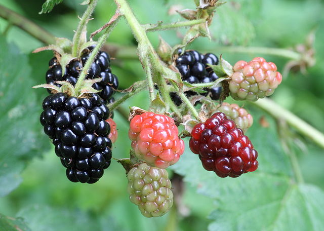 "Aggregate ""blackberries"" are actually clusters of drupes multi-ovary flowers. (Ragesoss - Own work CC BY-SA 3.0)"