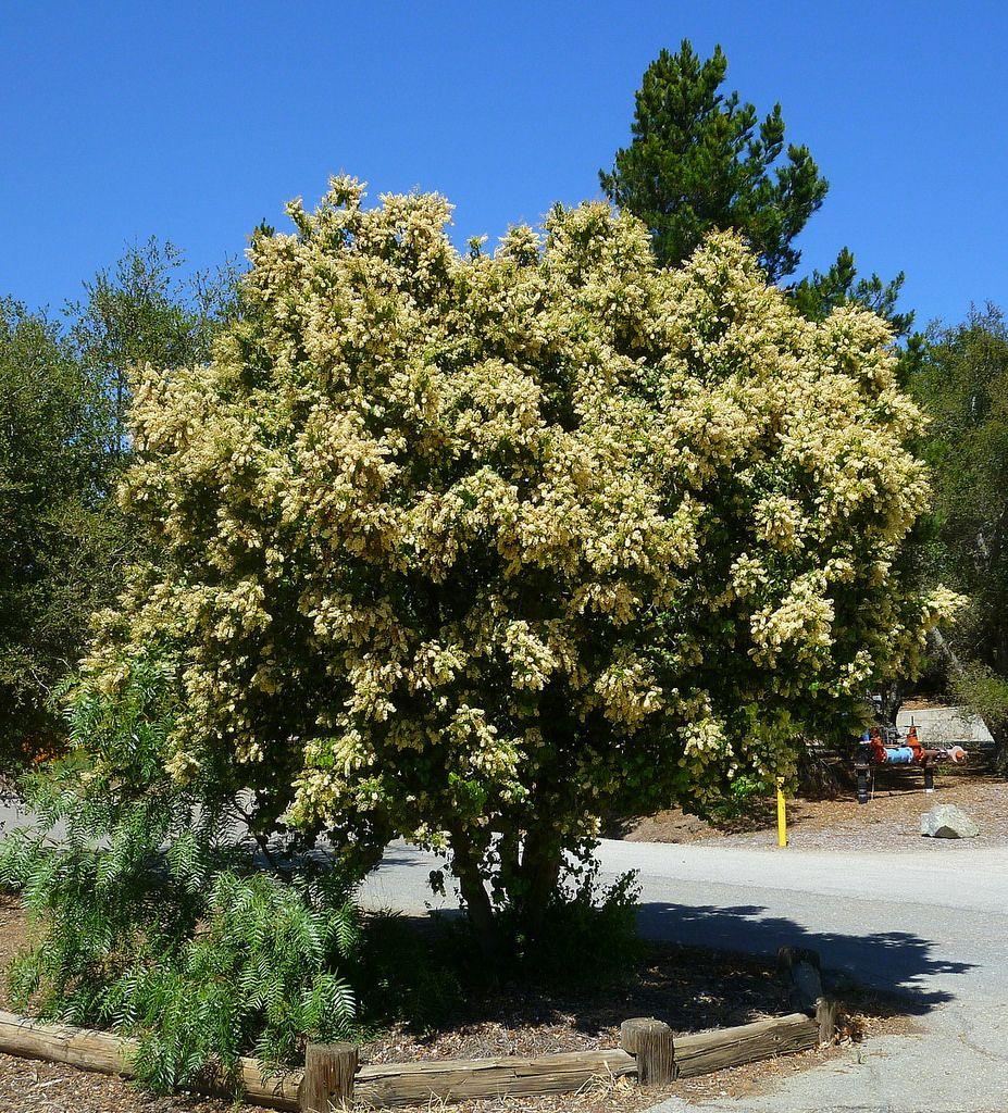 Prunus ilicifolia ssp. lyonii