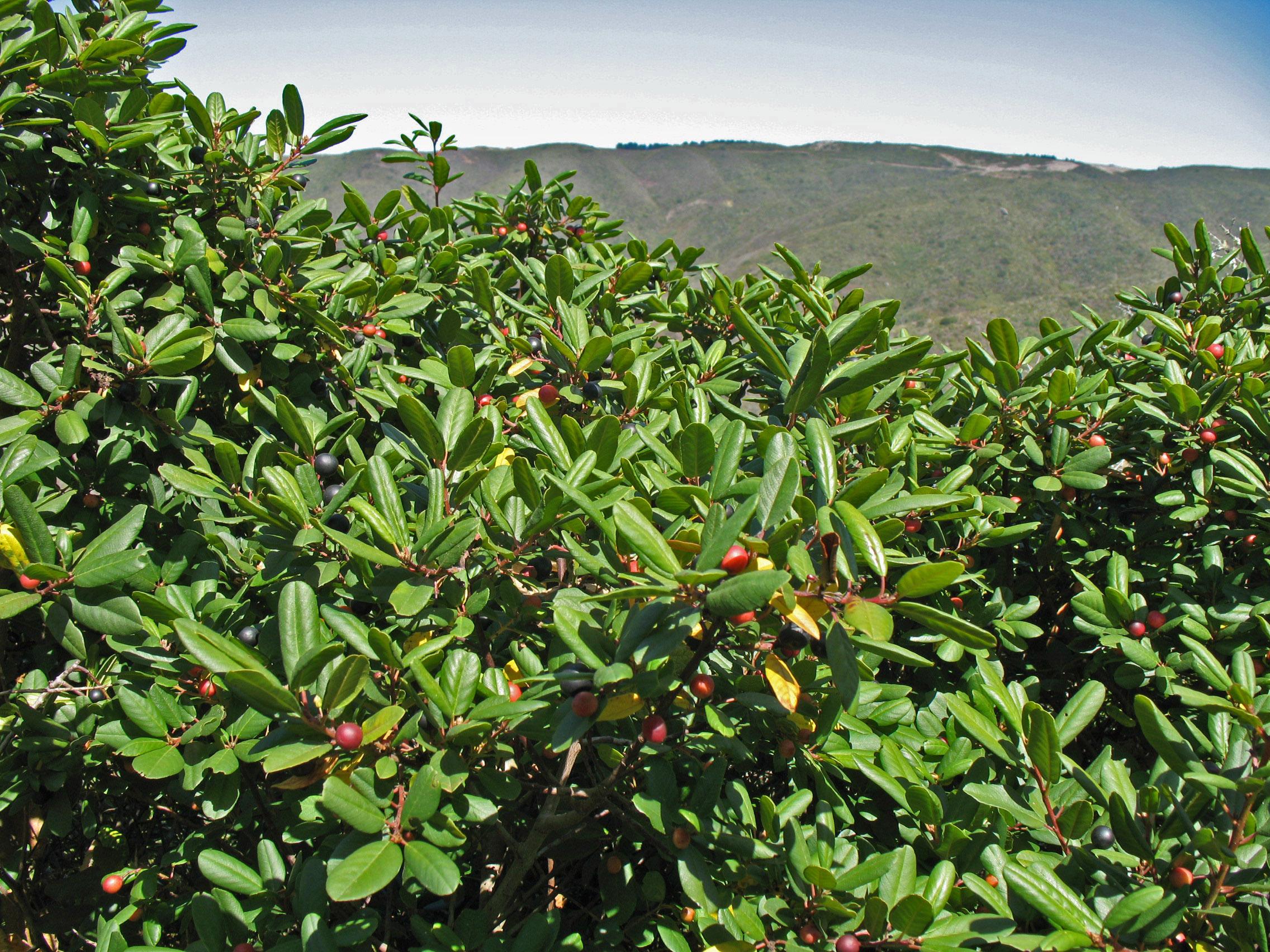 Frangula californica (syn. Rhamnus californica)