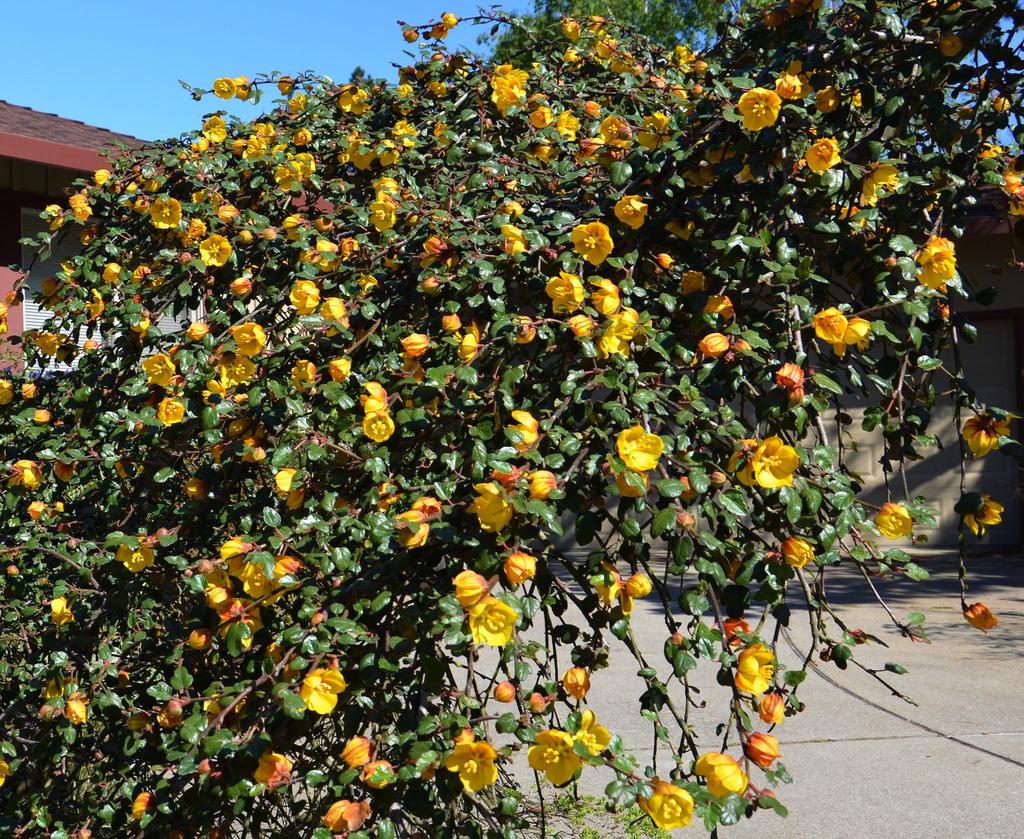 Fremontodendron 'Ken Taylor'