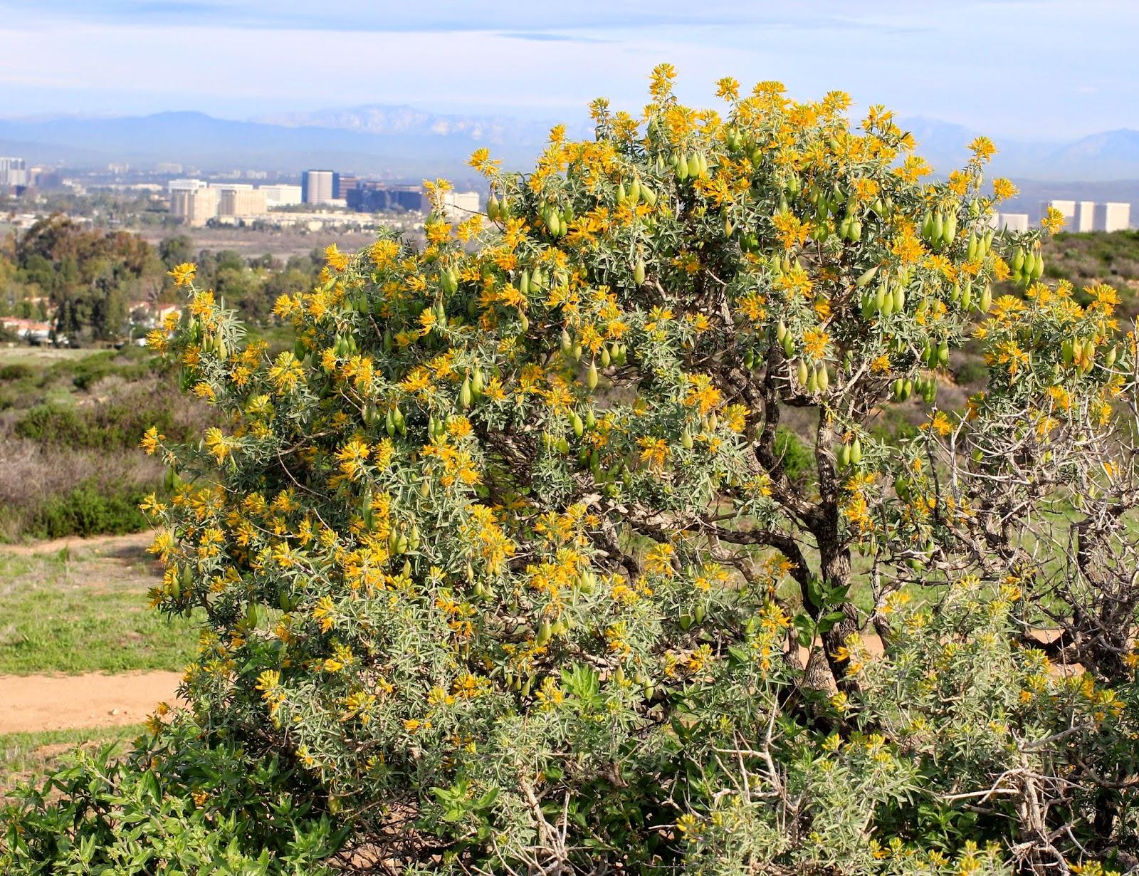 Isomeris (Peritoma) arborea