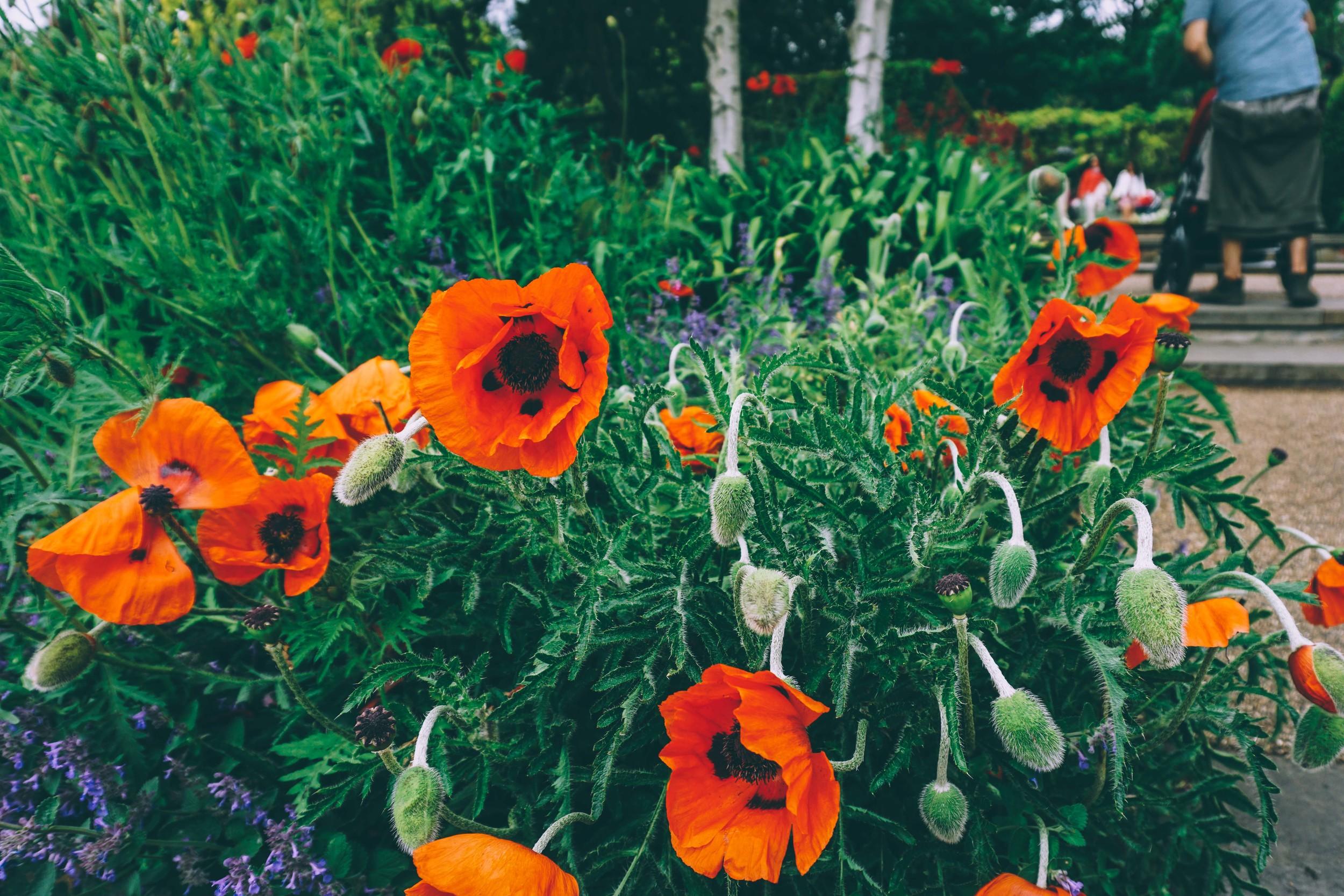 Poppies in Kensington Palace Gardens