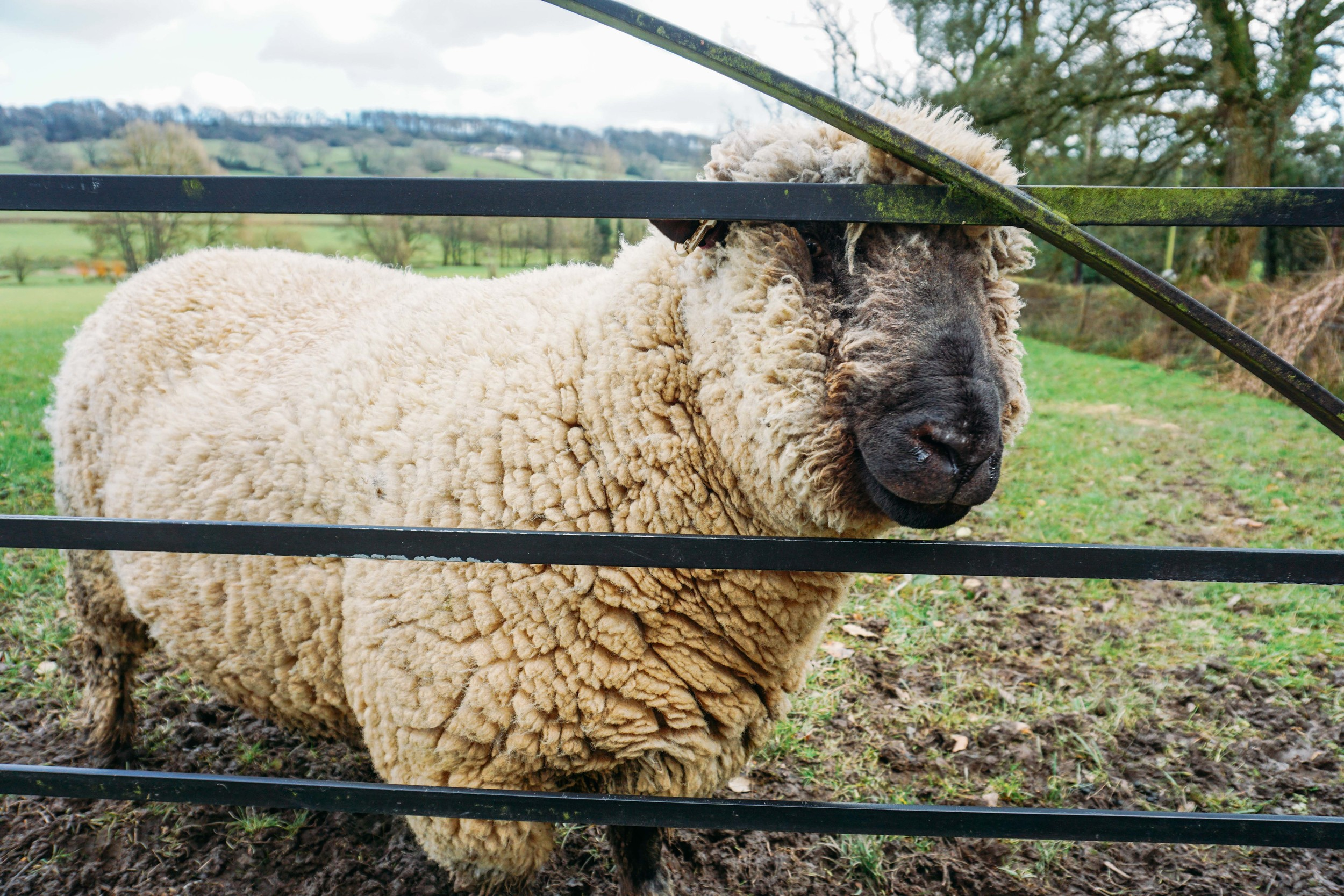 English countryside in Somerset-Farm animals