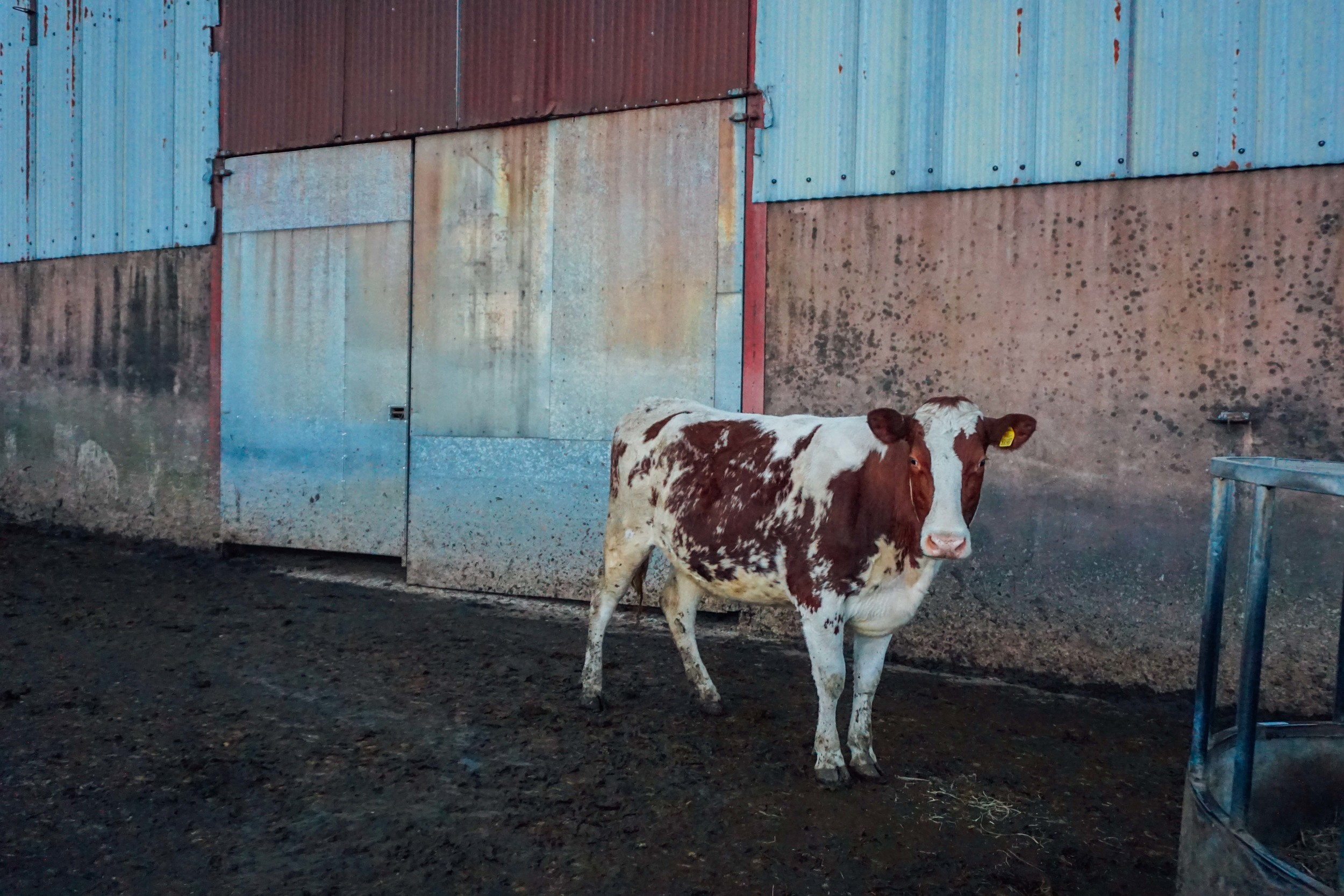 Arla cows in Somerset.